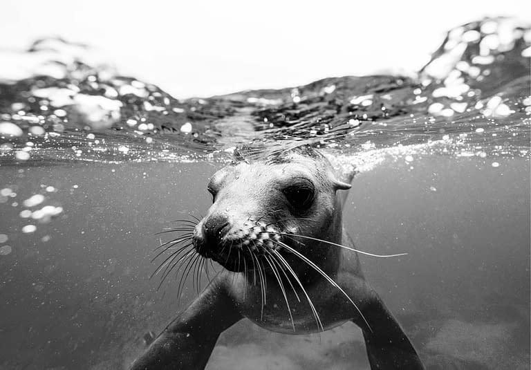 Robbe unter Wasser